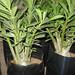 Bonsai Plants 7