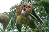 Chinese Chestnuts 01