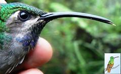 Campylopterus falcatus (OSWALDO CORTES -Bogota Birding and Birdwatching Co) Tags: lazulinesabrewing campylopterusfalcatus hummingbirdsfromcolombia salvinghummingbirds conservationhummingbird studyhummingbirds ecologyhummingbirds santamartasabrewing campylopterusphainopepluslazulinesabrewingcampylopterusfalcatushummingbirdsfromcolombiasalvinghummingbirds