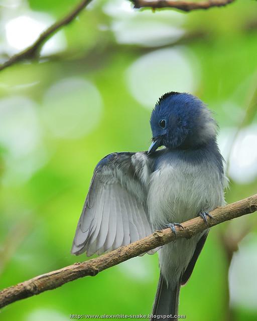 黑枕藍鶲 雄鳥 理毛展翅