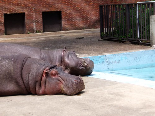 Hippos - Memphis Zoo