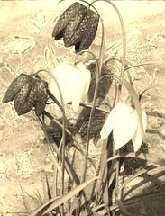 fritillaries (lin kay) Tags: flower up mono close fritillary