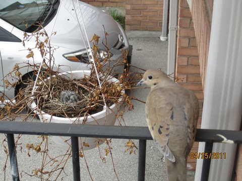 Mourning dove at mom and dad's house