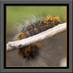 Chenille caille martre (InfoTek) Tags: macro fauna garden insect jardin olympus caterpillar zuiko chenille insecte faune e510 ahqmacro beautifulmonsters macroinsectes belitecaterpillarsandlarvaeb