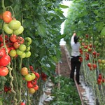 Tomate culture sous serre à Plouguiel
