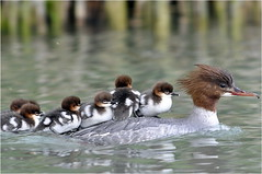 Harle Bivre familly (Dominique Saunier) Tags: annecy lac canards rhonealpes rhnealpes harle bivre