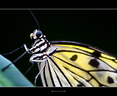 Ode to a Butterfly ... ... ... ...[explored] (Borretje76) Tags: macro eye netherlands dutch yellow butterfly leaf wings dof bokeh iso400 sony small sigma f45 blad explore geel vlinder oog leggs gele pootjes 180mm vleugels vlindertuin explored gupr borretje76 dslra580