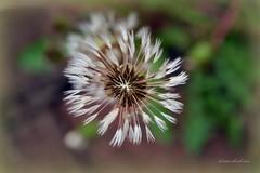 dandelion dew (blmiers2) Tags: flowers newyork flower green nature nikon dandelion explore dew whire d3100 blm18 blmiers2