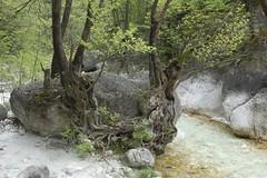 groing around the rock (Ren Mouton) Tags: trees river bomen groen hiking wandelen greece macedonia planes platanus wit planetrees griekenland rivier agiosnikolaos platanen  macedoni  loutraloutrakiou