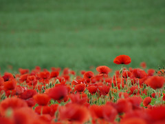 Poppies (Paula Bailey) Tags: flowers red flower floral isleofwight poppy poppies wildflowers wildflower papaver arreton cornpoppy papaverrhoeas fieldpoppy may2011