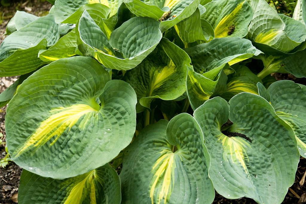 hosta variegation