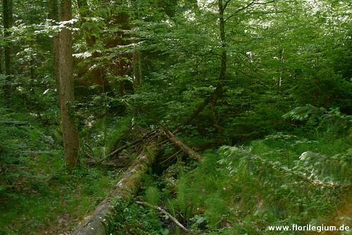 Eibenwald bei Paterzell