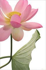 Pink Lotus and Leaf - IMG_0071-800 (Bahman Farzad) Tags: pink flower macro yoga leaf peace lotus relaxing peaceful meditation therapy lotusflower lotuspetal lotuspetals lotusflowerpetals lotusflowerpetal
