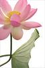 Pink Lotus and Leaf - IMG_0071-800 (Bahman Farzad) Tags: pink flower macro yoga leaf peace lotus relaxing peaceful meditation therapy lotusflower lotuspetal lotuspetals lotusflowerpetals lotusflowerpetal