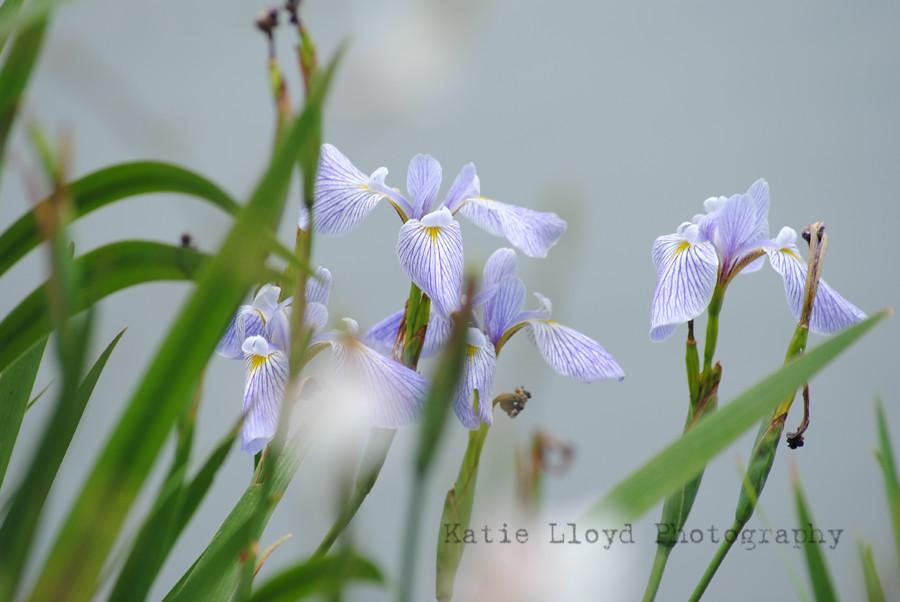 irises-by-pond-sooc