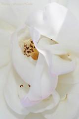 bright white1 (phoppernowlin) Tags: california flowers summer white flores macro june rose fleurs fun close bright sandiego neighborhood rosas 2011 floras