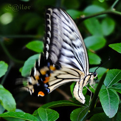 Butterfly,  Papilio xuthus - Asian Swallowtail - Chinese Yellow Swallowtail - Xuthus swallowtail (S@ilor) Tags: ocean japan butterfly focus pacific pacificocean nagoya 1001nights mignon nagoyacastle papilioxuthus chineseyellowswallowtail asianswallowtail silor xuthusswallowtail 1001nightsmagiccity blinkagain bestofblinkwinners