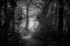 Discovery (Aidan Mincher) Tags: woodland wood stoneycliffe yorkshire southyorkshire trees blackandwhite path footpath fog mist landscape uk canon5dmk3