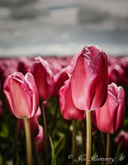 Roze tulpen / Pink Tulips (josreimering1) Tags: rozetulpen pinktulips darksky donkerelucht donkerewolken waterdrop waterdruppel natuur nature thenetherlands noordoostpolder holland bloem bloemen flower flowers dutchflower hollandsebloem nederlandsebloem