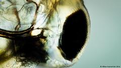 Cloeon Dipterous - Eye (Micromundus) Tags: dipterous cloeon eye microscope microscopy
