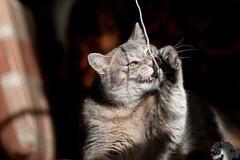 (lisrezoly) Tags:  cat graycat mustache kittyschoice
