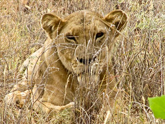Five well fed female lions. The lionesses were snozing after having recently eaten. (Ken Zaremba) Tags: africa felidae geography kenya lion merunationalpark pantheraleo animal bigcats carnivores lioness mammals
