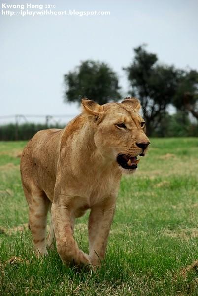 棕色母狮子