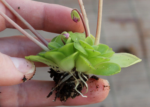 Re-Potting Pinguicula