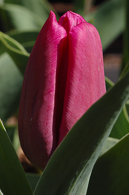 Missouri Botanical Garden (Shaw's Garden), in Saint Louis, Missouri, USA - purple tulip