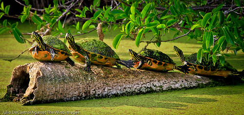 Florida red Bellied turtles sunning-_MG_3664 by Against The Wind Images
