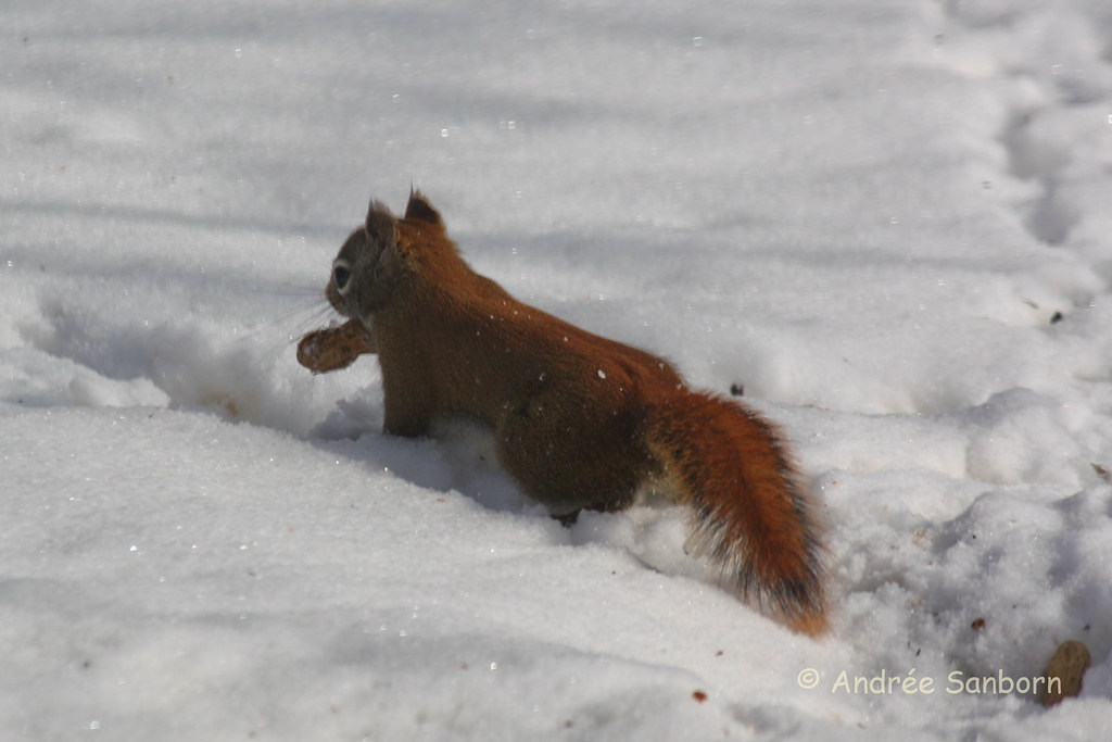 Red Squirrel at the Feeders (9 of 10).jpg