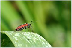 Dionconotus cruentatus -  - (Eran Finkle) Tags: macro closeup nikond70s hemiptera raynoxdcr250     nikon2880mmf3356g  dionconotuscruentatus  orangeblossombug