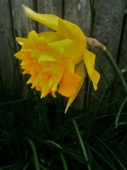 Double Daffodil (fuzzyjay) Tags: double daffodil pdx narcissus
