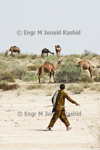 Caravan of Camels in Cholistan desert near derawar by Engineer J