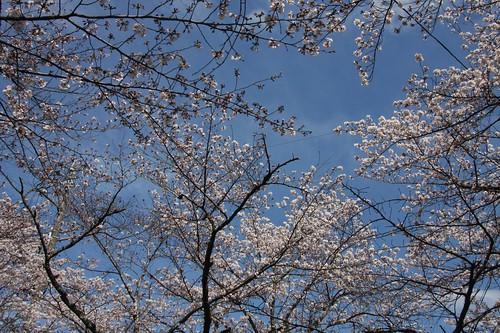 青空に楽しく・・・ / Cherry blossom