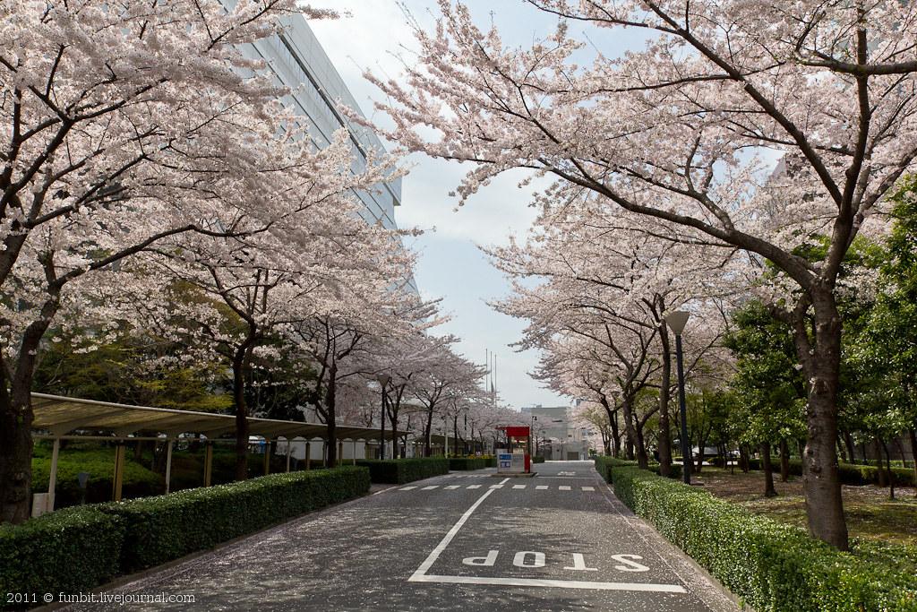 Tokyo Ryogoku Sakura 1