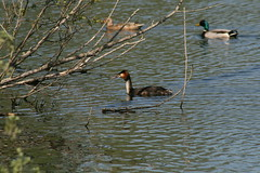 Great Crested Grebe , male and female mallard (Trevor Gadd) Tags: male water duck branches great feathers mallard crested grebe