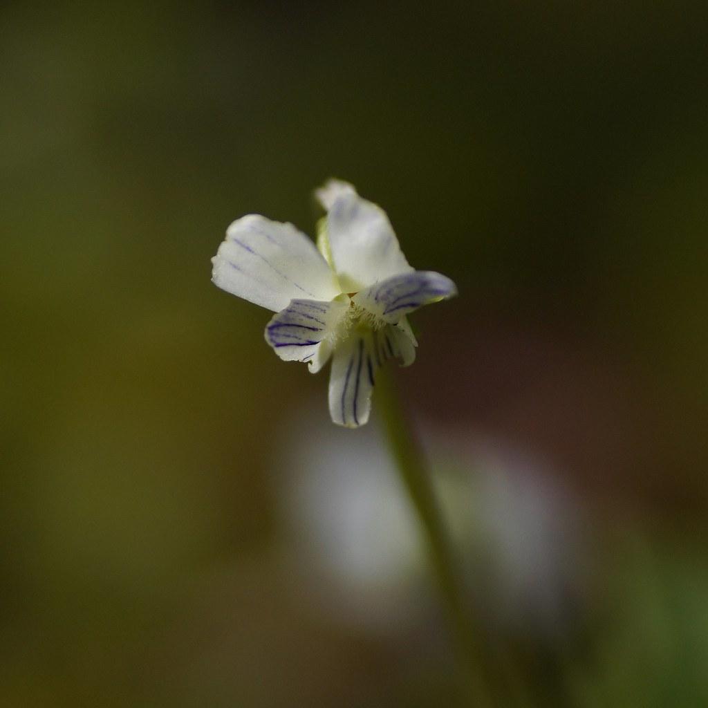 Viola verecunda 1