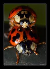 ~Harley Loves Karley~ (Eddie The Bugman) Tags: nottingham macro ladybug wollatonpark coleoptera harmoniaaxyridis extensiontubes harlequinladybird nikkor60mmmicro sb900 nikond7000 wildlifeonthegoakabugman edwardnurcombe