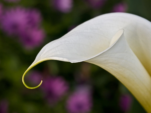 calla lily in field of daisies
