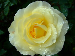 Rose (yewchan) Tags: flowers roses flower nature colors beautiful beauty rose closeup garden flora colours gardening vibrant blossoms rosa blooms lovely closeuprose