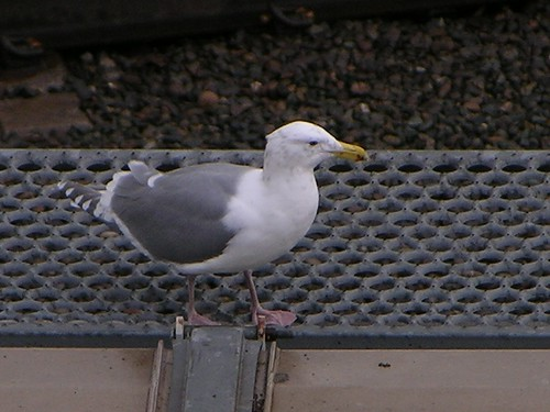 Seagull on train, take two