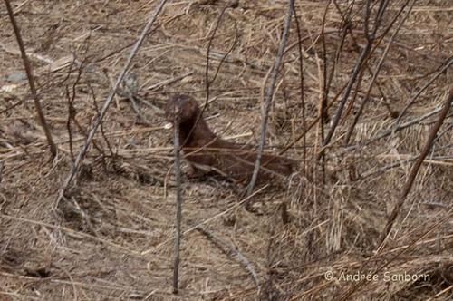 American Mink (Neovison vison) (1 of 5).jpg