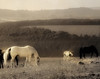 Morning in Devon (h_roach) Tags: greatbritain morning light england horses field sepia explore devon colt foal a3b duotome
