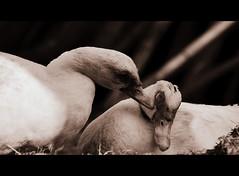 2/365 [ Kiss me duck ! ] (dClaudio [homofugit]) Tags: bw love animal loving spring nikon kiss ducks shy lovers tele 70300 d90