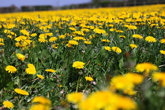 Golden field, Yatton, Ian Wade (Disorganised Photographer - Ian Wade - Travel, Wil) Tags: landscape somerset dandelions