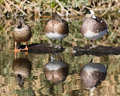 Are your ducks in a row? [Explored] (Jim Purcell) Tags: usa birds animal animals duck tucson wildlife az aves beast creatures creature beasts animalia zoology americanwigeon anatidae anseriformes anasamericana chordata explored undomesticatedanimals tucsonphotographer pentaxk7 smcpentaxda300mm4edifsdm