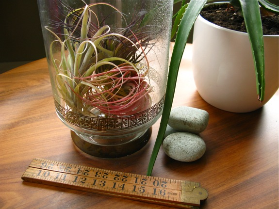 old faithful tillandsia air plants 006