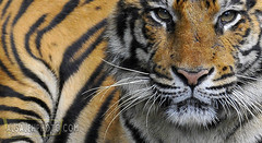 FACE TO FACE (MOHAMMED AL-SALEH) Tags: wild face indonesia photography zoo wildlife tiger safari tigers facetoface taman tamansafari wildlifephotography safarizoo tigerphoto tigerphotos tigersphotos