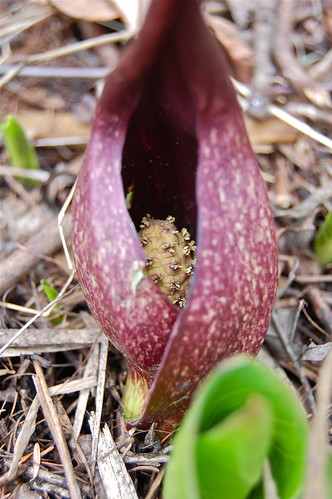 intriguing skunk cabbage